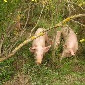 Eleveur de Porc Bio Plein Air